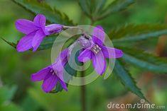 wild-violet-flower-cardamine-glanduligera
