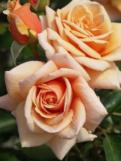 """"""" Scent To Remember """" - (SOMspice) - Floribunda rose - Peach-apricot upper, darker reverse apricot - Moderate, fruity, sweet fragrance - Rob Somerfield (New Zealand), 2006 All Flowers, Pretty Flowers, Colorful Flowers, Flowers Pics, Yellow Roses, Red Roses, Color Melon, Rose Foto, Ronsard Rose"""
