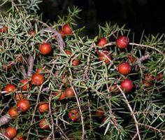 Es troba als boscos i garrigues de la regió mediterrània, entre el nivell del mar i els 1000 m. La seva fusta és preuada en ebenisteria, aromàtica i molt resistent a la putrefacció. De vegades es cultiva com planta ornamental.
