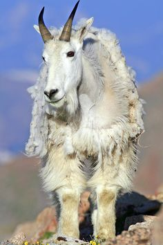 ✮Mountain Goat - Great Pic!