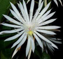Night Blooming Cereus: Hooker's Orchid Cactus, Epiphyllum hookeri $18.00 from onalee.com .4 Leaf Cuttings. This is the most inexpensive way to get a start of these wonderful plants, and the way my grandmother has passed this plant on ...