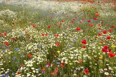 images of wildflower meadows - Google Search