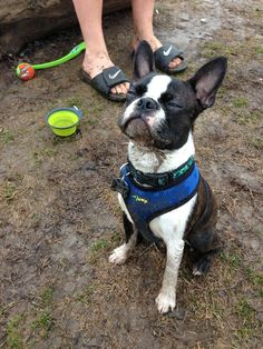 This guy wins at dog park | Boston Terrier Friendzy