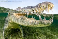 American Crocodile, Chinchorro Banks, Mexico. With bigfishexpeditions.com