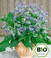 Kräuter-Steckbrief Borretsch (Borago officinalis) - Eigenschaften und Verwendung