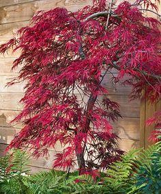 Japanese Tamukeyama Maple Tree