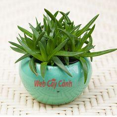 Hoa sen đá cỏ ngọc hay còn gọi là thạch thảo