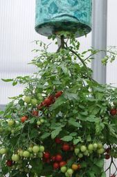 Benefits of Growing Tomatoes Upside Down I Love Tomatoes is part of Small vegetable gardens - Information on growing tomato plants upside down and what the benefits are Backyard Vegetable Gardens, Vegetable Garden Design, Veg Garden, Fruit Garden, Easy Garden, Garden Pots, Balcony Gardening, Herb Planters, Gardening Books