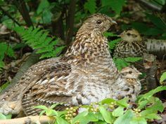 Ruffed Grouse (Bonasa umbellus) with chicks