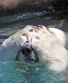Polar Bear | Cutest Paw