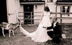 A goat eating a wedding dress. :)