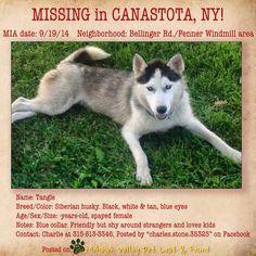 STILL MISSING 11-4-14 #Lostdog 9-19-14 #Canastota #Fenner #NY #SiberianHusky female Black/white 40 lbs blue eyes Blue collar 315-655-3213 https://m.facebook.com/story.php?story_fbid=849837551693297&id=517753371568385