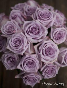 Ocean Song Rose, a lavender rose by http://www.harvestwholesale.com