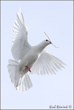 beautiful dove+
