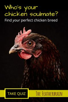 Every chicken keeper has a chicken soulmate! If you're a beginner to raising backyard chickens, you'll definitely want these breed tips and ideas. Take this chicken breed quiz to find your perfect backyard flock. How To Find Soulmate, Raising Backyard Chickens, Perfect Chicken, Chicken Breeds, Chicken Eggs, Finding Yourself, Pictures, Tips, Animals