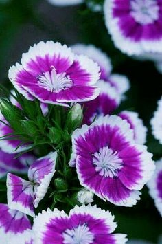 Sweet William flowers: My mother's favorite summer flowers. Exotic Flowers, Amazing Flowers, My Flower, Purple Flowers, Colorful Flowers, Beautiful Flowers, Sweet William Flowers, Dianthus Flowers, Flower Meanings