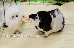 Cali Cavy Collective: a blog about all things guinea pig: What's in our fridge: Watermelon Rind