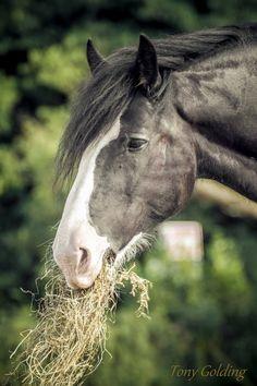 Shire horse - Draft horse