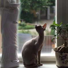 Pin for Later: 15 Reasons to Love Sphynx Cats They're ridiculously regal.