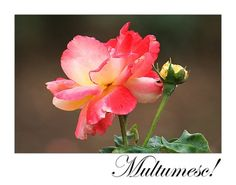 multumesc - Căutare Google Adele, Rose, Flowers, Plants, Google, Impressionism, Pink, Plant, Roses