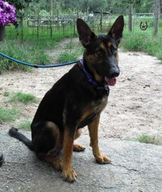 6/2017 Adopted!    Meet FRANKIE, an adoptable German Shepherd Dog looking for a forever home. If you're looking for a new pet to adopt or want information on how to get involved with adoptable pets, Petfinder.com is a great resource.