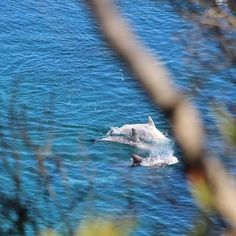 From yesterday these dolphins are waiting for the killings #tweet4taiji #dolphinproject #tweet4dolphins #coveguardians #seasheperd