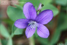 Bloom for July 19, 2012:  Arrow-leaved Violet (Viola sagittata). Photo by LadyAshleyR