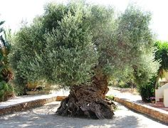 2,000 year old Olive tree in Greece