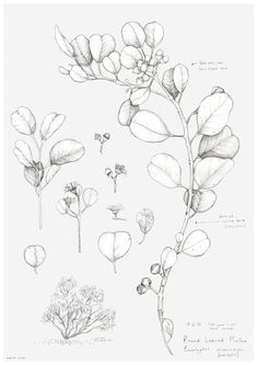 Discover recipes, home ideas, style inspiration and other ideas to try. Flower Line Drawings, Flower Drawing Tutorials, Botanical Line Drawing, Flower Sketches, Botanical Drawings, Botanical Illustration, Botanical Prints, Native Drawings, Art Drawings