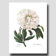 "Botanical Illustration ""Peony"" Print (Beach Cottage Art, White Home Decor) 8x10 or 11x14 Flower Wall Art, Antique Redoute Print No. 102"