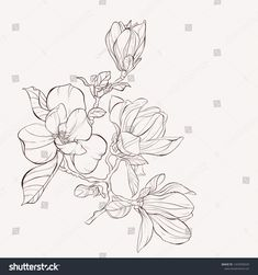 Find Sketch Floral Botany Collection Magnolia Flower stock images in HD and millions of other royalty-free stock photos, illustrations and vectors in the Shutterstock collection. Botanical Line Drawing, Floral Drawing, Botanical Illustration, Illustration Art, Flower Drawings, Line Artwork, Ink Master, Flower Bird, China Art