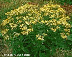 Senecio doria Herbs, Plants, Herb, Planters, Plant, Spice, Planting