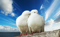 Tender moments :  Animals in Love  - Affectionate White Doves,  Sweet Animal Couple  Photos Wallpaper 2