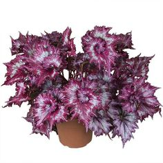 Begonia 'Tie Dye' (Begonia rex hybrid) - New Introductions for 2014