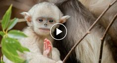 Mystery Monkeys Of Shangri-La – The Yunnan Snub-Nosed Monkeys