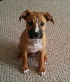 Boxer/Lab puppy (13 weeks). This looks like my dog! He's a rescue, maybe this is what his boxer-ness is mixed with, though they guessed mastiff...