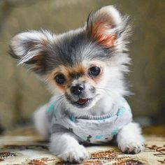 Teacup Pomeranian Puppy, Yorkie, Teacup Puppies, Cute Puppies, Cute Dogs, Puppies Puppies, Pomchi Puppies, Chihuahua Love, Pets