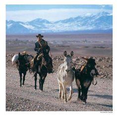 Arriero que conduce animales de carga, al sur del oasis de Toconao, cerca del salar de Atacama. Norte de Chile.