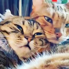 Cute Overload: Internet`s best cute dogs and cute cats are here. Aww pics and adorable animals. Funny Animal Memes, Funny Animal Videos, Cute Funny Animals, Cute Baby Animals, Animals And Pets, Funny Cats, Silly Cats, Videos Funny, Cat Memes