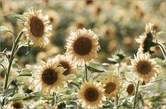 Sonnenblumen Liebe: Poster & Kunstdruck von Tanja Riedel