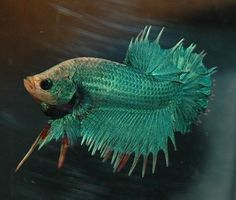 What a GORGEOUS FEMALE Green Wildform Tail Betta (Photo by Daniella Vereeken/Creative Commons via Flickr)