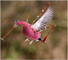 A very rare sight in #Scotland - a flying Haggis!