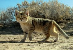 Sand cats are little wild cats who make their homes in the deserts of North Africa and the Arabian Peninsula.  Equipped with camouflaged coats and furry feet that make no sound and barely leave prints, these tiny felines are masters of stealth.  Their fur also helps them regulate their body temperature in the extreme heat and cold of the desert. Sand Cat ~