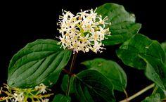 La infusión de hojas de cornejo, por su contenido en ácido salicílico, tienen la propiedad de bajar la fiebre y aliviar los dolores articulares.