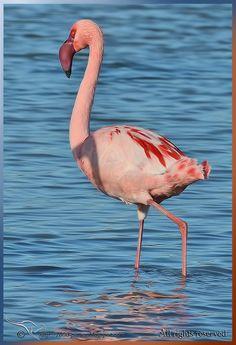 The Lesser flamingo » Focusing on Wildlife