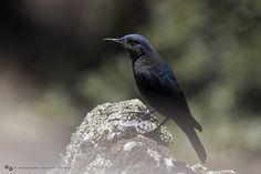 Blauwe rotslijster - Blue rock thrush - Merle bleu -Blaumerle | Flickr - Photo Sharing!