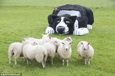 The giant car has proven to be an excellent herder - as the sheep don't seem to have noticed the difference