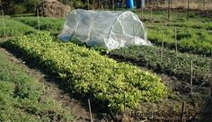 Organic gardening is about growing great produce without the use of synthetic chemicals. But in order to grow the best produce, you have to keep your soil healthy and nutrient laden. One very efficient and not too expensive way is to plant cover crops.