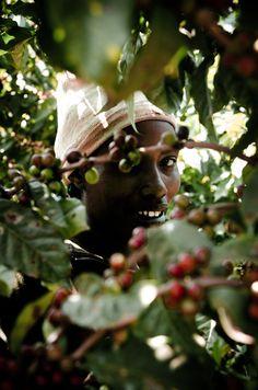 maishemaisha:  Coffee plantations, northern Tanzania Farm Photography, Coffee Photography, Coffee Farm, My Coffee, Coffee Process, Coffee Origin, Coffee Table Base, Coffee Instagram, Coffee Drawing