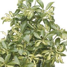 Gold Schefflera- One of over 400+ varieties from Exotic Angel Plants®
